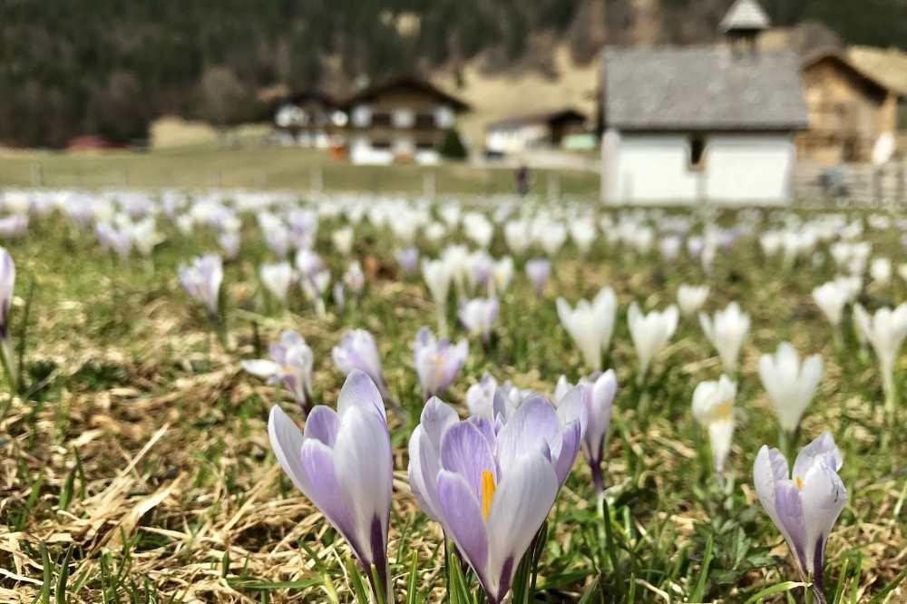 Karwendel Frühling - zur Krokusblüte im Karwendel